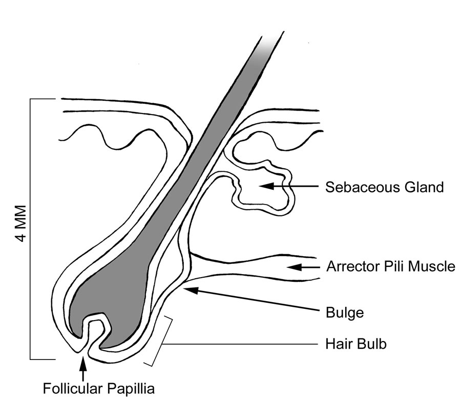 Unique Anatomy Of A Hair Follicle Crest - Human Anatomy Images ...